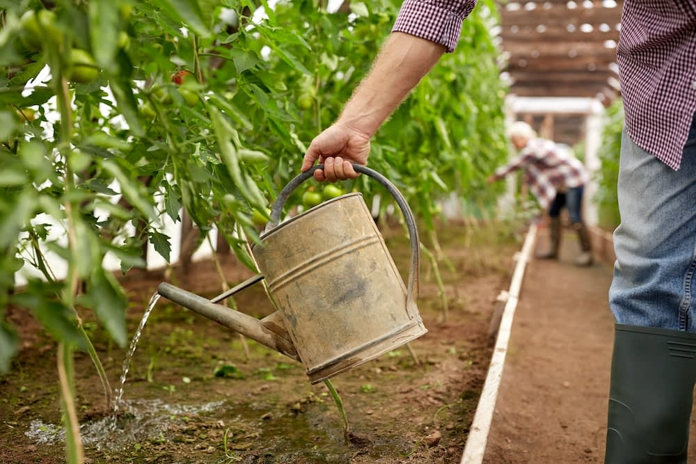 senior man with watering can at farm greenhouse