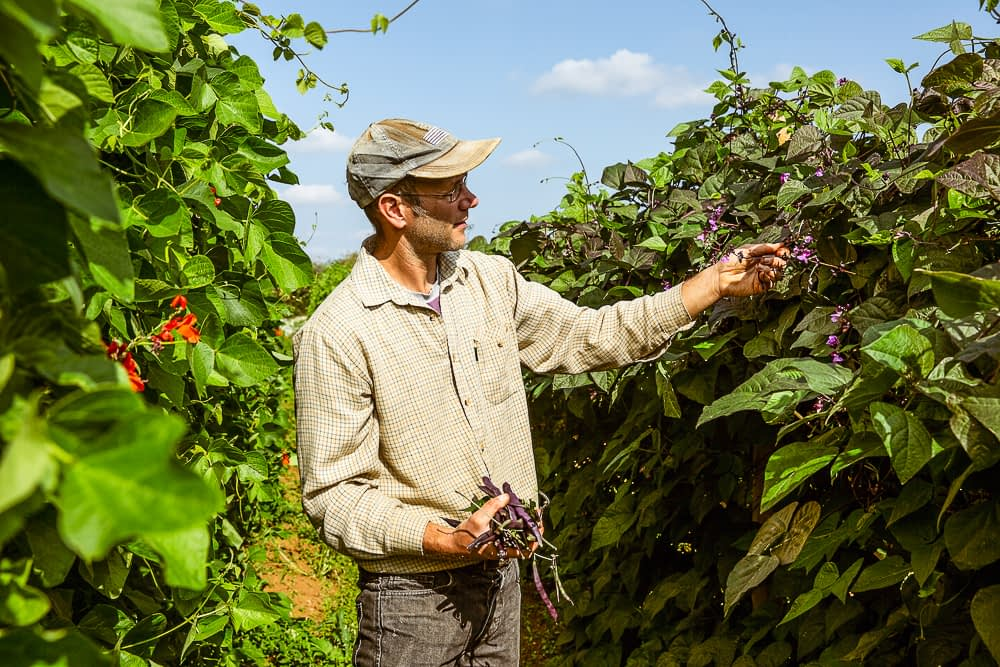 a farmer standing in a field of purple bean bushes harvesting them by hand.