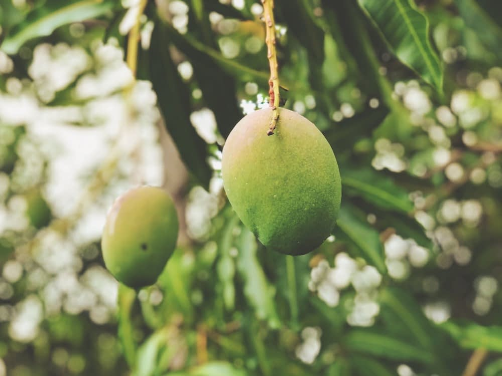 unripe green mangoes hanging from a tree in a forest