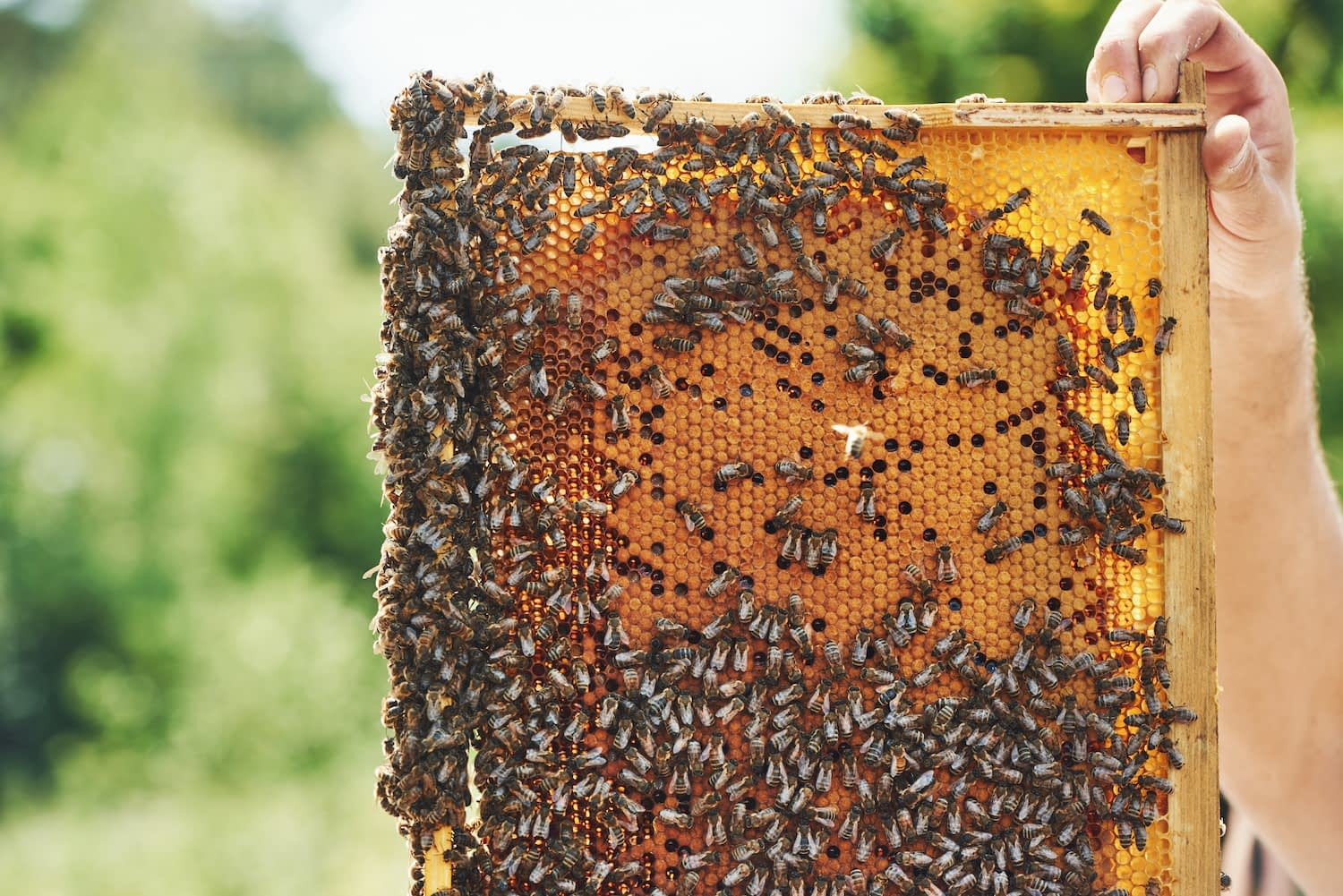 Bees gather on a slab of fresh honeycomb
