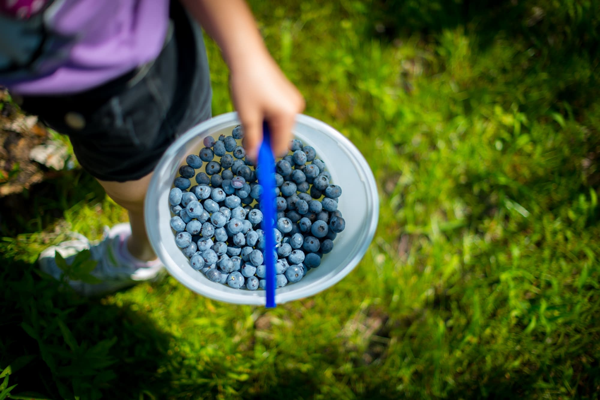 bucket of freshly picked blueberries. held by someone at a local farm