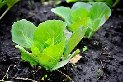 young cabbage growing in a field