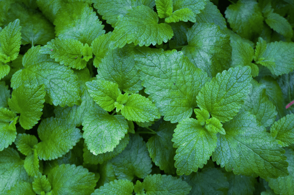 Vibrant green mint leaves and plants as the perfect garnish