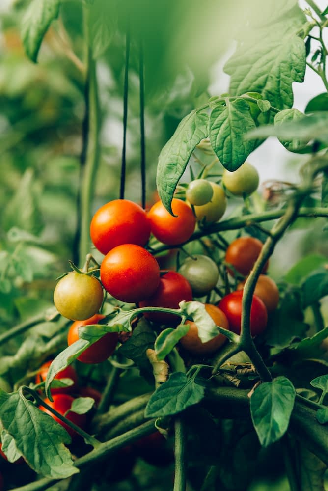 Close up of homegrown organic cherry tomatoes growing in a vegetable greenhouse garden