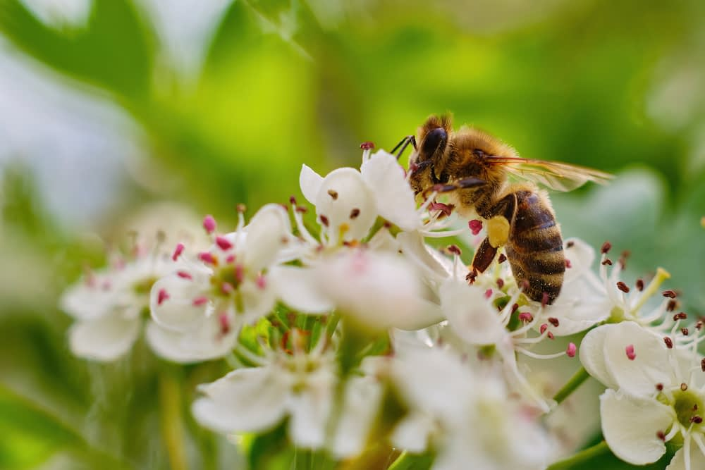 A bee pollinates cherry blossoms.