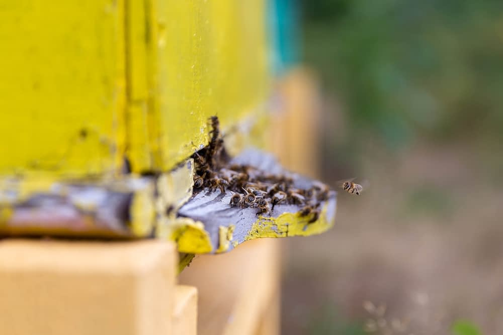 Bees entering a man-made hive