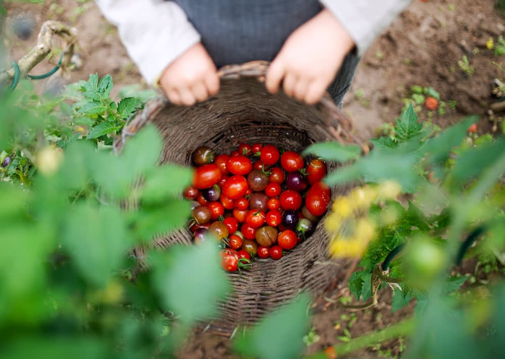 cherry tomatoes in a basket reflecting food security